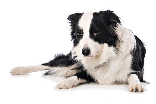 Afraid border collie dog lying isolated on white background