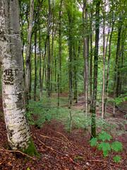 Buchen und Birken in einem Wald