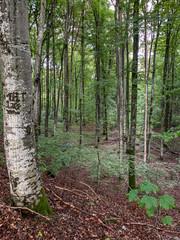 Birken und Buchen in einem Wald