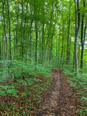 Waldweg durch einen Buchenwald