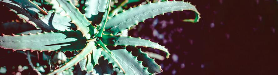 Photo sur Aluminium Cactus Succulent cactus plant natural background