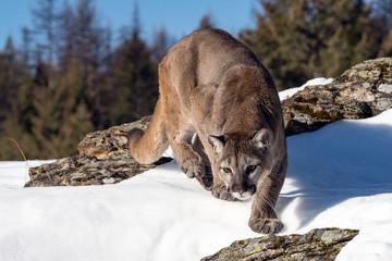 Mountain Lion in the Snow, Montana