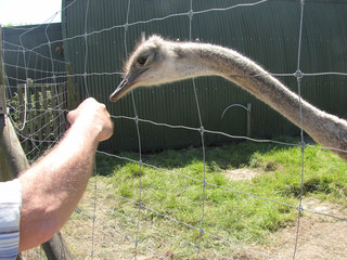 Poster Struisvogel an ostrich is about to bite in the hand of a tourist at an ostrich farm in holland in springtime