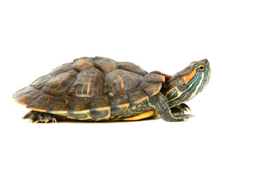 Photo sur Plexiglas Tortue Red ear turtle isolated on white background