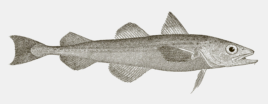 Alaska pollock, gadus chalcogrammus, a highly commercial food fish from the North Pacific Ocean in side view