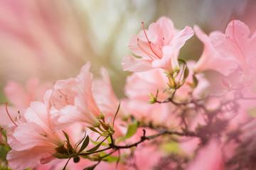 Light Pink Azalea Flowers with Bokeh