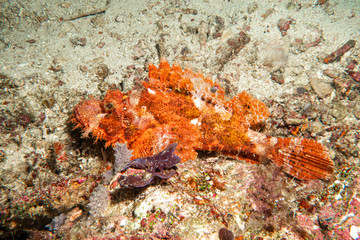 Beautiful red scorpionfish on the coral