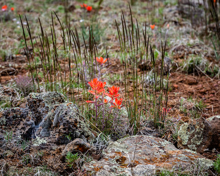 Indian Paintbrush flowers on stage in front of a curtain of grass.