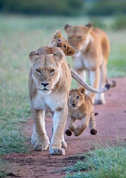 Lion Family Walking On Field