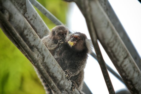 Two Marmoset Monkeys On Tree