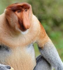 Deurstickers Aap Close-Up Of Proboscis Monkey