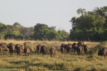 Photo sur Aluminium Buffalo Buffalo cows pack in the bush grassland