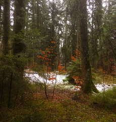 poetic mixed forest with first snow and rain in winter