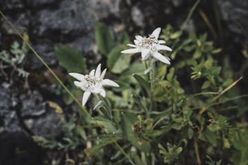Alpen-Edelweiss (Leontopodium nivale)