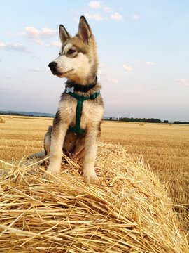 Alaskan Malamute On Hay Bales Against Agricultural Field
