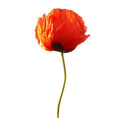 Fotobehang Poppy Beautiful red poppy flower isolated on white background