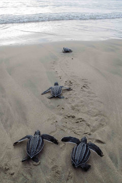 High Angle View Of Leatherback Turtles At Beach