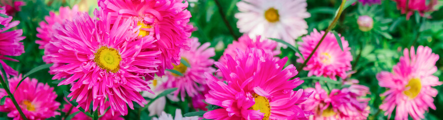 Photo sur Plexiglas Rose spring background, banner, Asters, free space for text