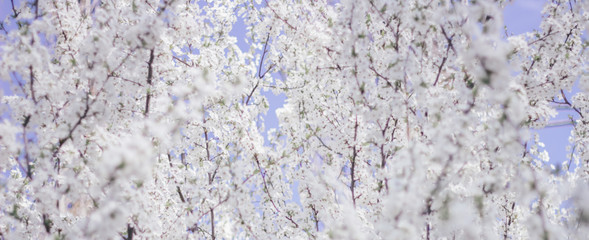 flowering spring fruit trees, banner, free space for text