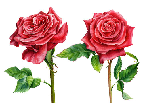 two red roses on an isolated white background, watercolor painting, botanical illustration, valentines day
