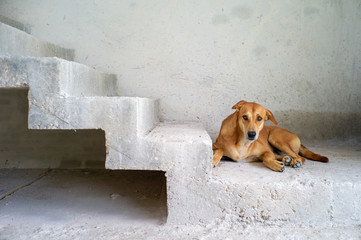 Portrait brown dog looks at the camera and sits on the cement floor in the house under construction.