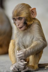 Vertical picture of a Rhesus macaque sitting on the ground with a blurry background