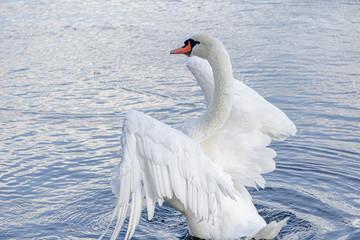 Zelfklevend Fotobehang Zwaan 優雅に羽を広げた白鳥