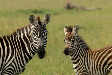 Canvas Prints Zebra mother zebra and foal on the savannah