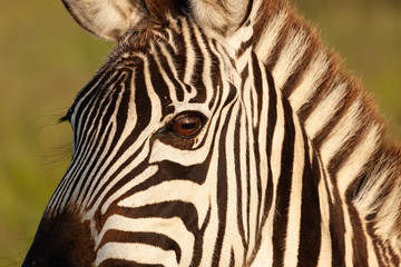 Aluminium Prints Zebra closeup of a zebra's head