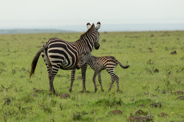 Photo Blinds Zebra mother zebra and foal on the savannah