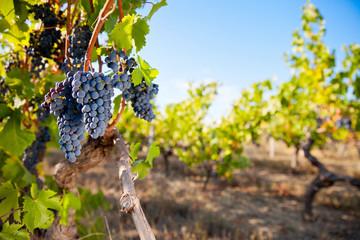 Stores à enrouleur Vignoble Raisin noir dans un vignoble en France.