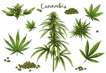 Color hand drawn cannabis. Green hemp plant seeds, sketch cannabis leaf and marijuana bud vector illustration set. Bundle of elegant detailed natural drawings of wild hemp foliage and inflorescences.