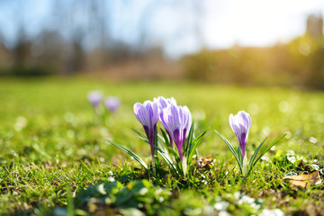 Papiers peints Crocus Blooming crocus flowers in the park. Spring landscape.