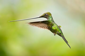 Sword-billed hummingbird (Ensifera ensifera) is a neotropical species of hummingbird from the Andean regions of South America.