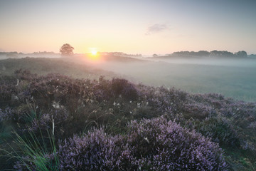 beautiful misty sunrise over blooming heather hills