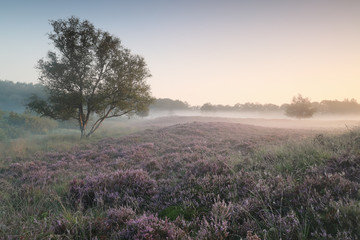 Wall Mural - calm misty morning on heather meadow