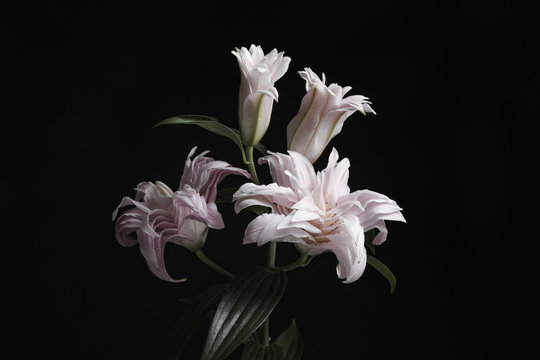 Beautiful fresh lily flowers on black background. Floral card design with dark vintage effect