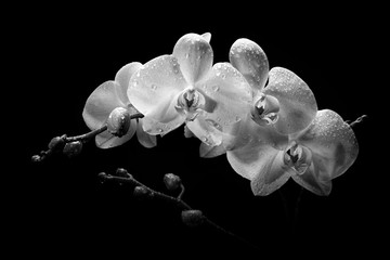 A sprig of white orchid with buds on a black background.