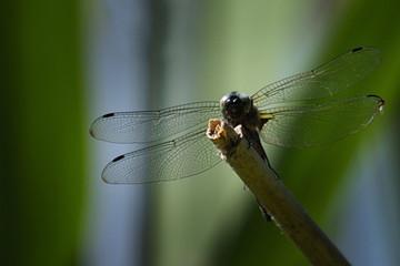 Libelle auf einem Ast im Garten
