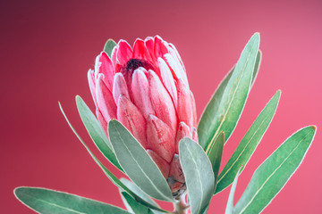 Fotoväggar - Protea flower bunch. Blooming Pink King Protea Plant over pink background. Extreme closeup. Holiday gift, bouquet, bud. One Beautiful fashion flower macro shot. Valentine's Day or birthday gift