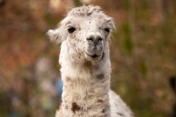 Acrylic Prints Lama portrait of lama with the funny look. Shot in natural environment