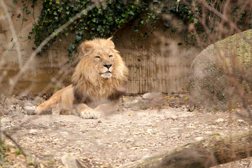 lion in a zoo resting and playing
