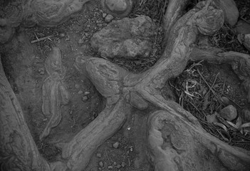 Black and white tree roots on the top of Tepozteco, Mexico