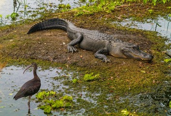 This image shows a wild alligator laying in the wetlands and basking in the sun as birds pass by.