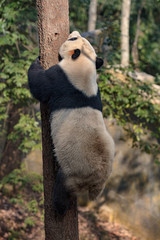 Wall Mural - Panda Bear Climbing a tree in the forest of Bifengxia nature reserve, Ya'an, Sichuan Province China. Protected Species, Cute Young Male Fluffy Panda Stretching to climb to the top of a tree.
