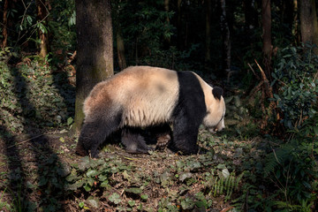 Fotomurales - Side Profile Photograph Panda Bear