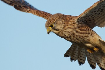 Kestrel Flying Against Clear Sky Fotomurales