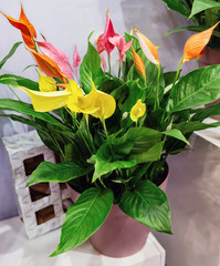 Spathiphyllum wallisii, female happiness - a flower that brings happiness, yellow, pink and orange varieties.