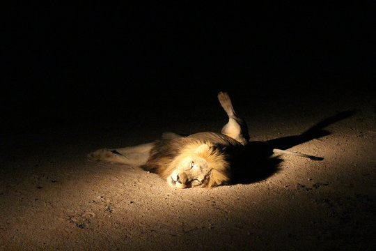 Lion Lying On Field At Kruger National Park During Night