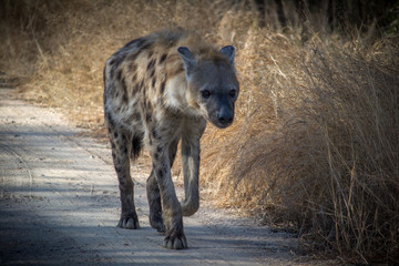 Hyena Walking On Dirt Road In Forest At Kruger National Park